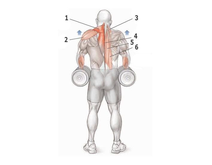 Упражнения на трапецию в тренажерном зале для мужчин. упражнения для трапециевидных мышц спины