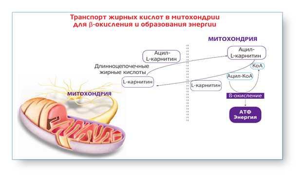 L-карнитин для похудения - как он работает и как его пить?