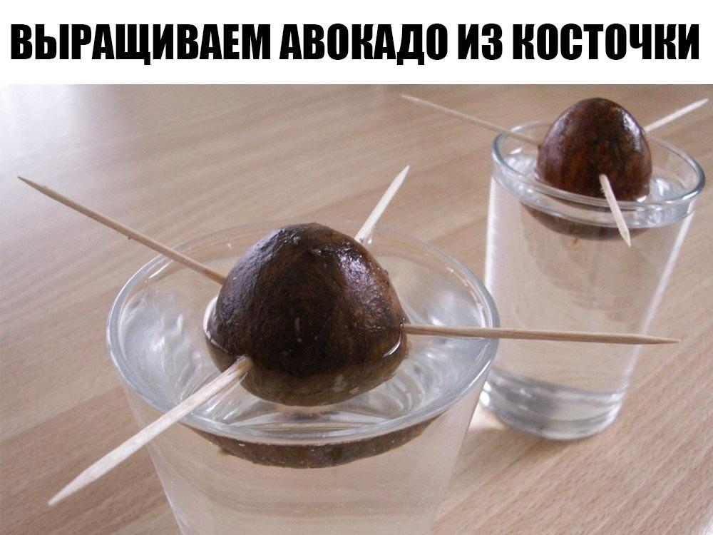 Авокадо — полезная заморская зеленая груша