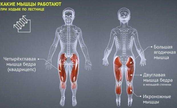 Анатомия человека. мышцы.