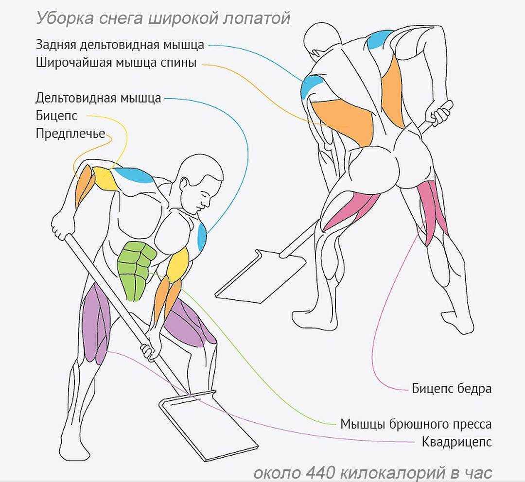 Анатомия мышц. мышцы человека. функции мышц.