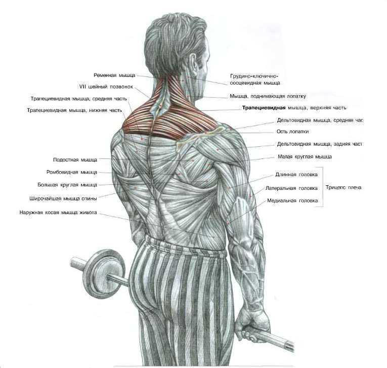 Качаем трапециевидную мышцу дома и в зале Эффективные упражнения со штангой и гантелями Тренировка трапеций на брусьях Рекомендации по технике