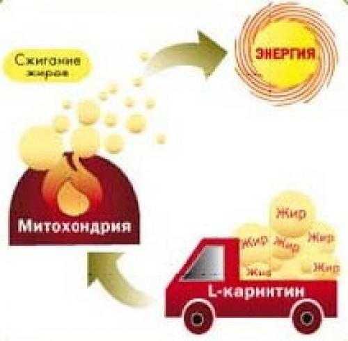 Для чего нужен l карнитин, как его принимать, в каких продуктах содержится