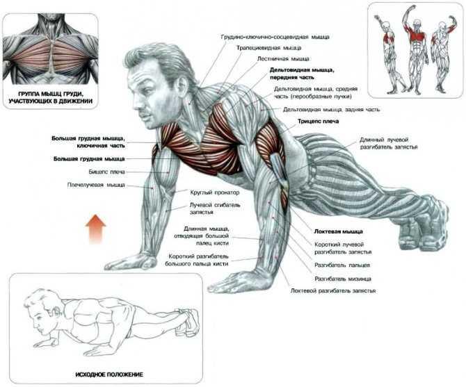 Отжимания на брусьях: какие мышцы работают и качаются?