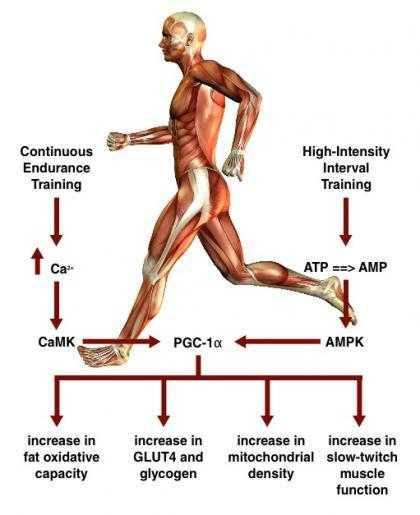 Помогает ли бег похудеть, какие мышцы работают при беге, сколько калорий сжигает бег