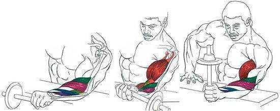 Мышцы на руках и кистях, как они разгибают руку в локте у человека