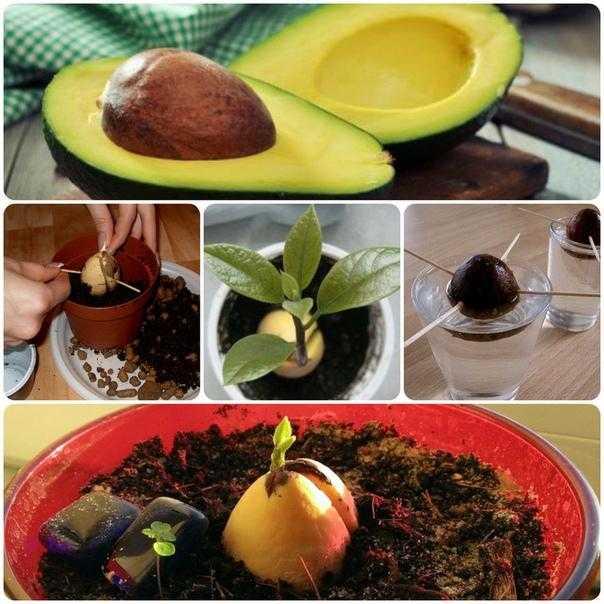Авокадо: как употреблять, польза и вред авокадо для здоровья и похудения   сижу дома