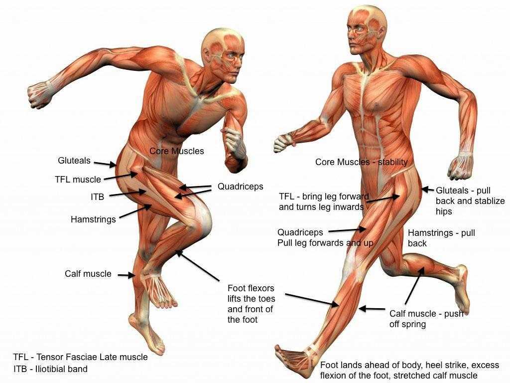 Какие мышцы работают при ходьбе пешком: что качается и укрепляется?