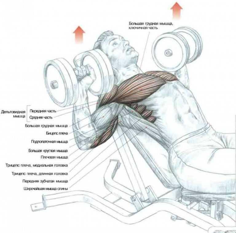 Лучшие упражнения на грудные мышцы в тренажерном зале на все части мышц груди