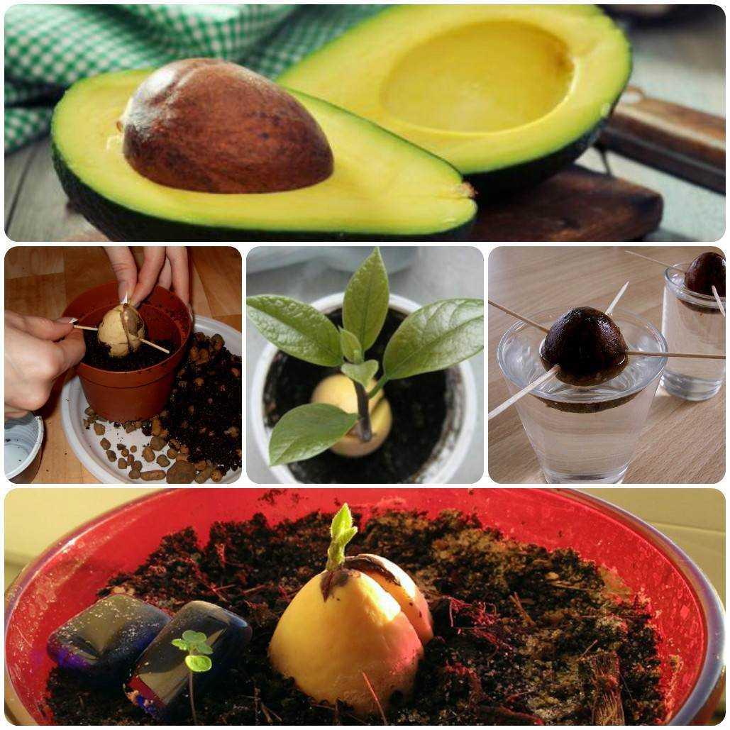 Авокадо: чем заменить в диете? химический состав и свойства авокадо