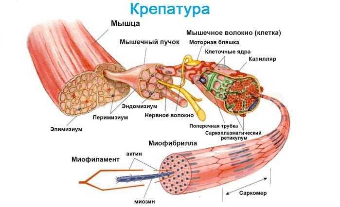 Крепатура мышц что это такое и как можно избежать