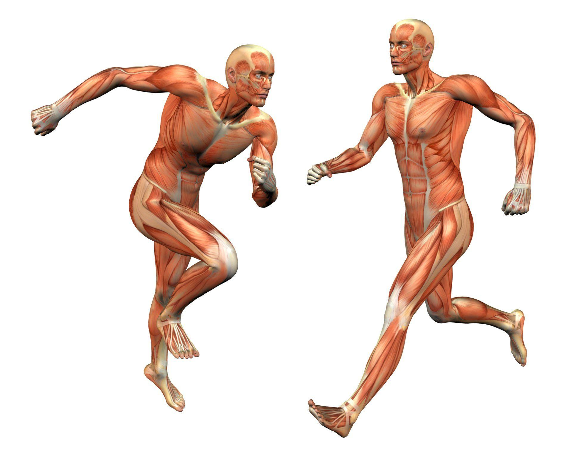 Какие мышцы работают при беге - спорт с точки зрения анатомии
