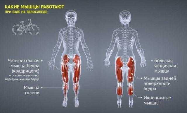 Упражнения и мышцы. тренажёрный зал. |