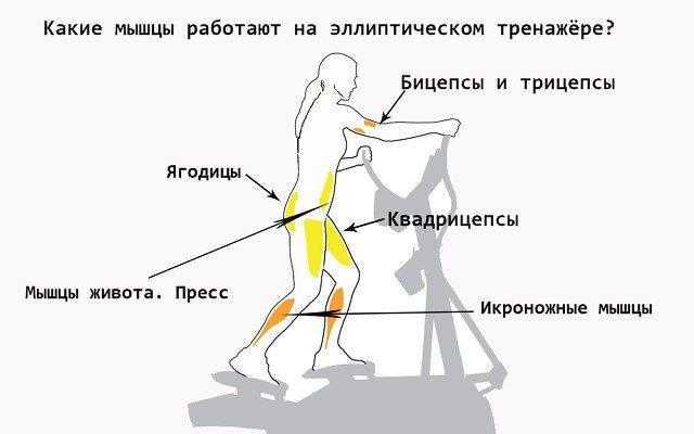 Изучаем работу мышц при беге Какова анатомия наших ног и как можно менять нагрузку Функциональное назначение мускулатуры ног на всех этапах бега