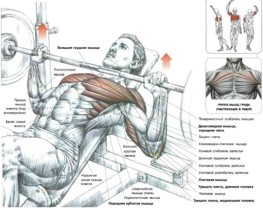 Какие мышцы работают при отжимании на брусьях, анатомия упражнения