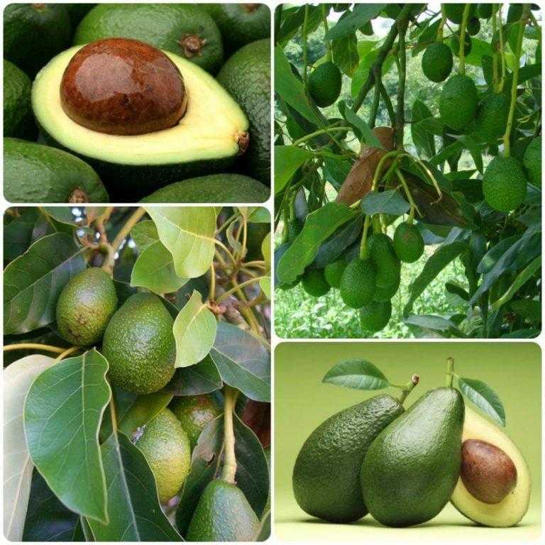 Польза авокадо + 10 пп-рецептов из авокадо, которые помогут разнообразить меню Авокадо содержит большое количество витаминов и микроэлементов